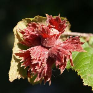 Bild: Rote Haselnuss Zellernuss Frucht Blatt Corylus maxima