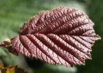 Rote Haselnuss Zellernuss Frucht Blatt Corylus maxima 04
