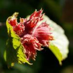 Rote Haselnuss Zellernuss Frucht Blatt Corylus maxima 06
