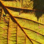 Rote Haselnuss Zellernuss Frucht Blatt Corylus maxima 07