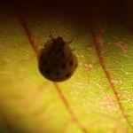 Rote Haselnuss Zellernuss Frucht Blatt Corylus maxima 08