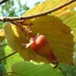 Rote Haselnuss Corylus maxima 04