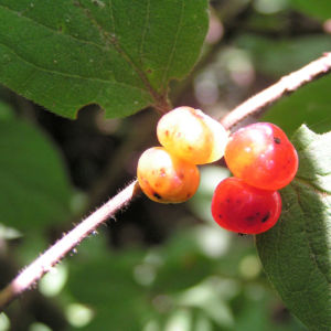 Rote Heckenkirsche Frucht rot Lonicera xylosteum 01