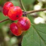 Rote Heckenkirsche Frucht rot Lonicera xylosteum 02
