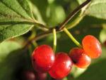 Rote Heckenkirsche Frucht rot Lonicera xylosteum 03