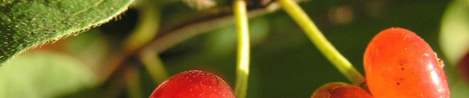 Anklicken um das ganze Bild zu sehen Rote Heckenkirsche Frucht rot Lonicera xylosteum