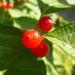 Zurück zum kompletten Bilderset Heckenkirsche Frucht rot Lonicera graebneri