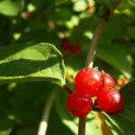 Rote Heckenkirsche Frucht Lonicera graebneri 02