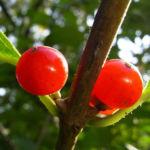 Rote Heckenkirsche Frucht Lonicera graebneri 03