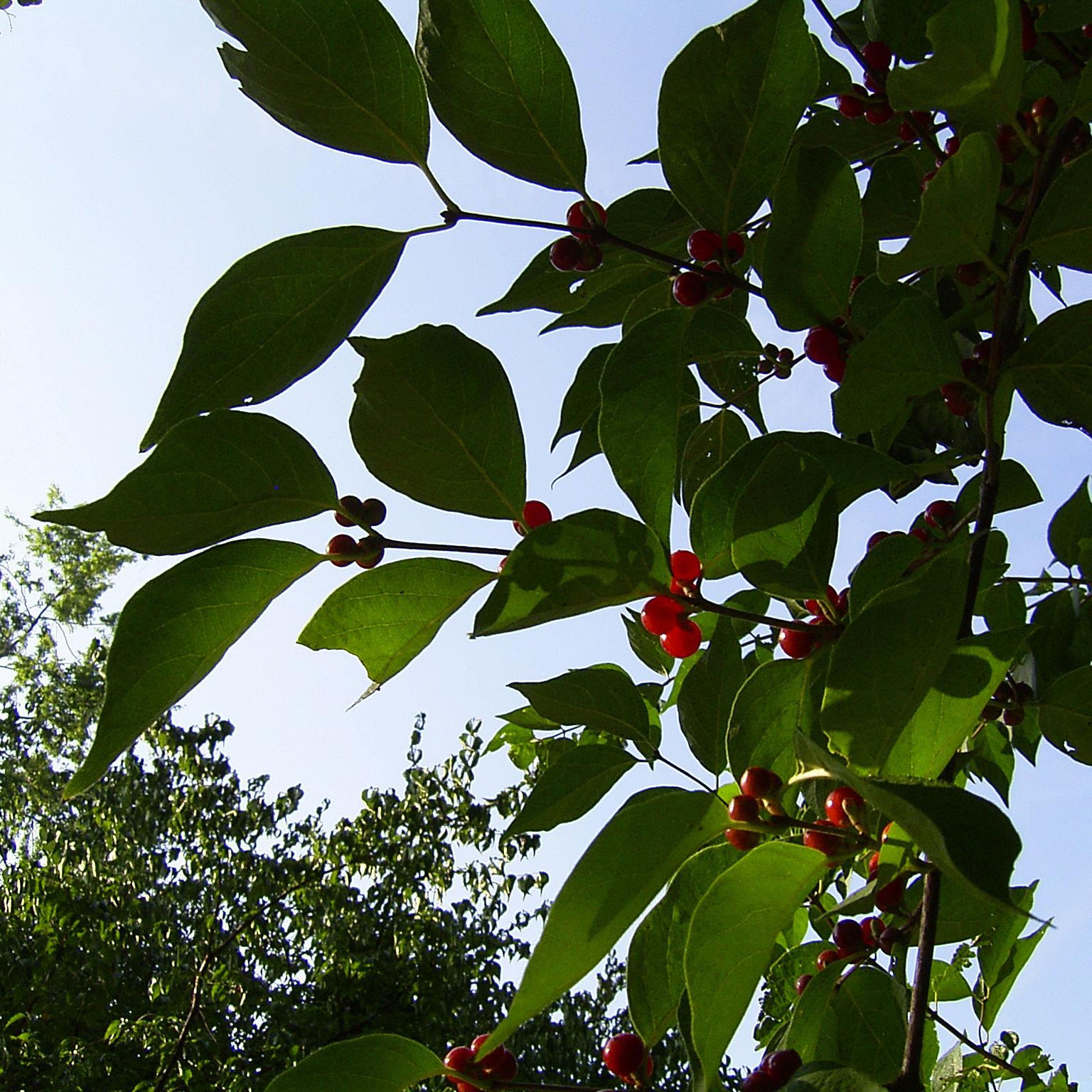 Rote Heckenkirsche Frucht Lonicera graebneri 05