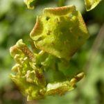 Bild: Rote-Johannisbeere Blüte gelb Ribes rubrum