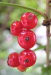 Rote Johannissbeere Beere Ribes rubrum 02
