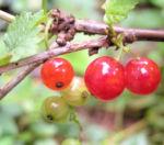 Rote Johannissbeere Beere Ribes rubrum 05