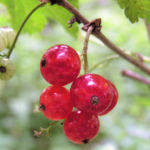 Rote Johannissbeere Beere Ribes rubrum 06