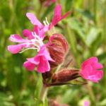 Rote Lichtnelke Bluete pink Silene dioica 01
