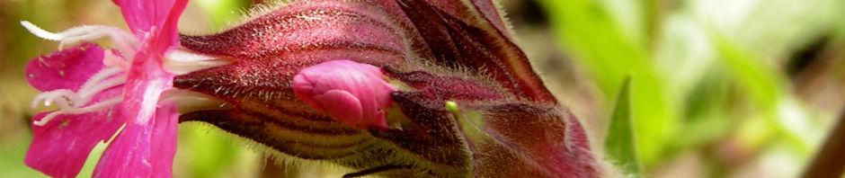 rote-lichtnelke-bluete-pink-silene-dioica
