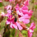 Rote Lichtnelke Bluete pink Silene dioica 08