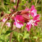 Bild: Rote Lichtnelke Blüte pink Silene dioica