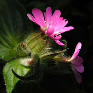 Bild: Rote Lichtnelke Bluete rosa Silene dioica