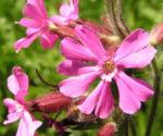 Rote Lichtnelke Bluete rosa Silene dioica 09