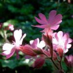 Bild: Rote Lichtnelke Blüte rosa Silene dioica