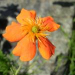 Rote Nelkenwurz Bluete orange Geum coccineum 01