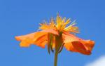 Rote Nelkenwurz Bluete orange Geum coccineum 02