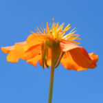 Rote Nelkenwurz Bluete orange Geum coccineum 03