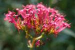 Rote Spornblume Bluete rot Centranthus ruber 06