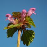 Rote Taubnessel Bluete pink Lamium purpureum 06