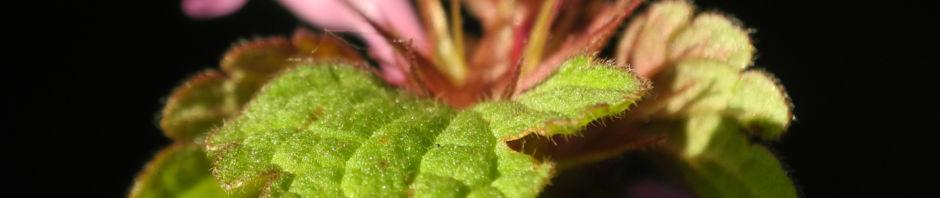 rote-taubnessel-bluete-pink-lamium-purpureum