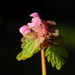 Bild: Rote Taubnessel Blüte pink Lamium purpureum