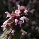 Rote Taubnessel Bluete rosa Lamium purpureum 01