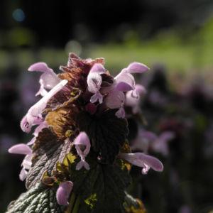 Rote Taubnessel Bluete rosa Lamium purpureum 02