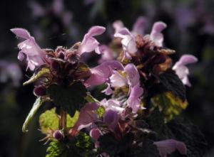 Rote Taubnessel Bluete rosa Lamium purpureum 03