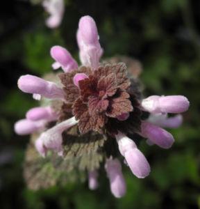 Rote Taubnessel Bluete rosa Lamium purpureum 05