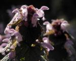 Rote Taubnessel Bluete rosa Lamium purpureum 09