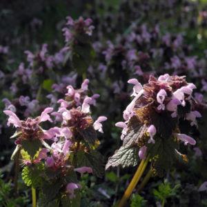Rote Taubnessel Bluete rosa Lamium purpureum 10