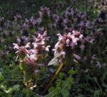 Bild: Rote-Taubnessel Blüte rosa Lamium purpureum