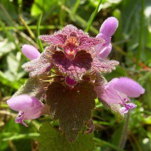 Rote Taubnessel Lamium purpureum 01