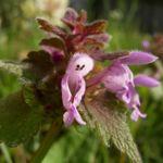 Bild: Rote Taubnessel Blüte rot Lamium purpureum