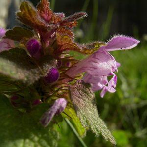 Rote Taubnessel Lamium purpureum 03
