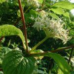 Bild: Roter Hartriegel Blüte weiß Cornus sanguinea