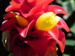 Roter Samt Ingwer Bluete gelb rot Costus barbatus 09