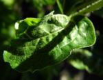 Roter Scheinsonnenhut Blatt gruen Echinacea purpurea 01