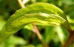 Roter Scheinsonnenhut Blatt gruen Echinacea purpurea 04