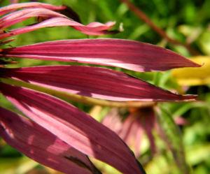 Roter Scheinsonnenhut Bluete pink Echinacea purpurea 13