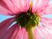 Zurück zum kompletten Bilderset Roter Scheinsonnenhut Echinacea purpurea