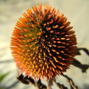 Roter Scheinsonnenhut Bluetenkorb Echinacea purpurea 03