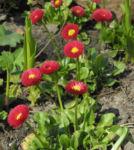 Rotes Gaensebluemchen Bluete rot gelb Bellis perennis 10